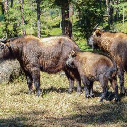 Le parc national animalier du takin